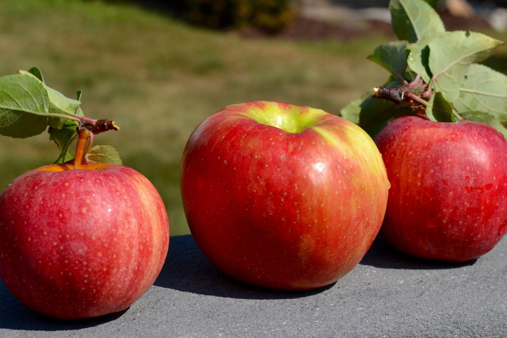 applepicking-myvegtable